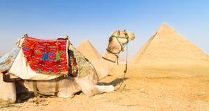 Cammello alle piramidi di Giza, Il Cairo, Egitto. Fotografia Stock