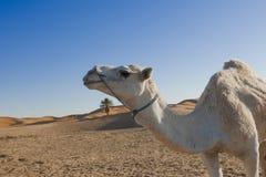 Cammello arabo nel profilo Fotografie Stock