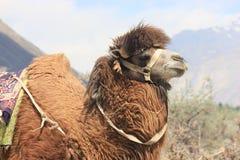 Cammello Bactrian in Ladakh fotografia stock libera da diritti