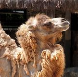 Cammello battriano o bactrianus del Camelus fotografia stock libera da diritti