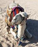 Cammello bianco che riposa nella sabbia nel deserto Fotografie Stock Libere da Diritti