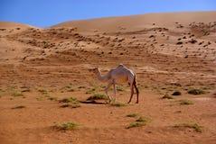 Cammello bianco di Wahiba Fotografie Stock