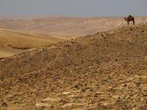 Cammello che guarda il deserto Negev, Israele Fotografia Stock