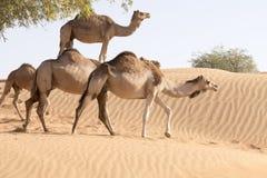 Cammello che prende un giro del cammello Fotografia Stock