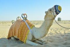 Cammello che si siede sulla sabbia e che cerca nel deserto nei UAE Fotografie Stock