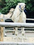 Cammello con il cablaggio ad uno zoo Immagini Stock