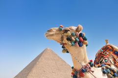 Cammello con la grande piramide nella priorità bassa Fotografie Stock Libere da Diritti