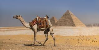 Cammello con le piramidi di Gizeh, Egitto fotografia stock libera da diritti