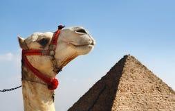 Cammello con una piramide nella priorità bassa Fotografie Stock Libere da Diritti