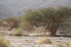 Cammello del deserto Immagine Stock Libera da Diritti