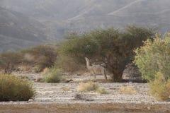 Cammello del deserto Fotografia Stock