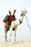 Cammello del nomade che si leva in piedi nel deserto Fotografia Stock