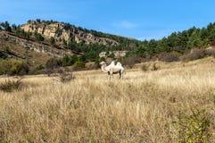 Cammello della montagna Fotografia Stock Libera da Diritti
