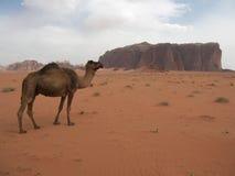 Cammello in deserto Immagini Stock Libere da Diritti