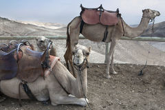Cammello, deserto di Judean Fotografia Stock