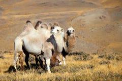 Cammello di Altai Fotografia Stock Libera da Diritti