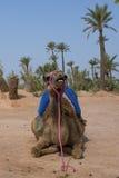 Cammello di Dromedar che si siede vicino all'oasi beduina Immagine Stock
