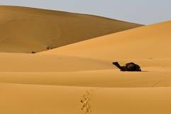 Cammello di Kneeing in dune del deserto Immagine Stock Libera da Diritti