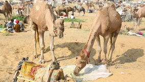 Cammello di Pushkar giusto stock footage