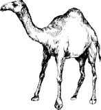 Cammello disegnato a mano Immagini Stock Libere da Diritti