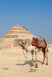 Cammello e la piramide di punto di Djoser a Saqqara immagini stock