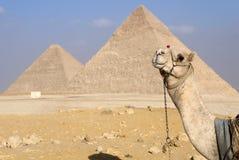 Cammello e le piramidi immagini stock libere da diritti