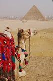 Cammello e piramide Fotografia Stock
