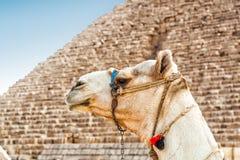 Cammello e piramide Fotografie Stock Libere da Diritti
