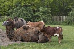 Cammello e puledro con due mucche Fotografia Stock