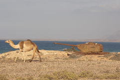 Cammello e serbatoio a costo del mare dell'isola di Socotra immagini stock