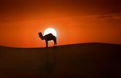 Cammello e tramonto Fotografia Stock
