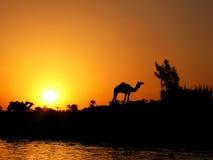 Cammello e tramonto Fotografie Stock Libere da Diritti
