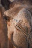 Cammello indiano nel deserto, Ragiastan, India Fotografie Stock Libere da Diritti