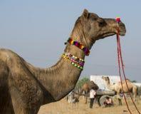 Cammello internazionale di Pushkar giusto Immagini Stock Libere da Diritti