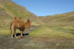 Cammello in Mongolia Immagini Stock Libere da Diritti