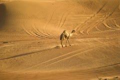 Cammello nel deserto Immagini Stock Libere da Diritti