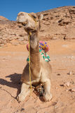 Cammello nel deserto Fotografia Stock Libera da Diritti