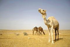 Cammello nel deserto del boker del sede Fotografia Stock Libera da Diritti