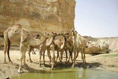 Cammello nel deserto del boker del sede Immagine Stock Libera da Diritti