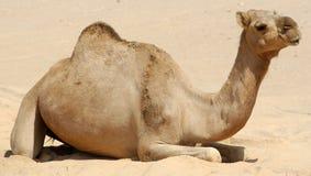 Cammello nel deserto dell'Oman Immagine Stock Libera da Diritti