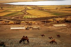 Cammello nell'azienda agricola Fotografie Stock