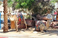 Cammello nell'Israele Immagini Stock