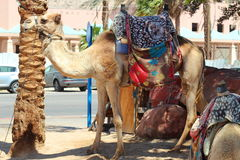 Cammello nell'Israele Fotografia Stock