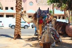 Cammello nell'Israele Immagine Stock