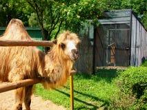 Cammello nello zoo Immagini Stock Libere da Diritti