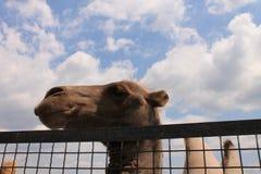 Cammello nello zoo Immagine Stock Libera da Diritti