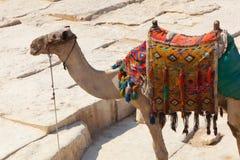 Cammello in piramidi di Giza, Egitto Immagine Stock Libera da Diritti