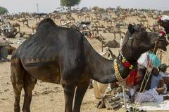Cammello Pushkar giusto Immagini Stock