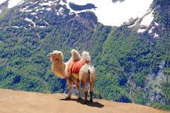 Cammello solo in alte montagne di Caucaso Fotografie Stock Libere da Diritti