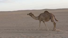 Cammello solo che cammina una strada al tramonto nel deserto Fotografia Stock Libera da Diritti